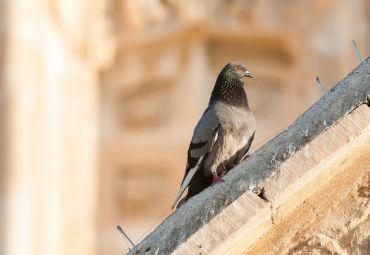 Tauben erobern die Stadt